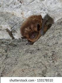 bat mouse