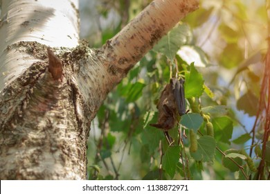 A bat in nature hangs upside down on birch branches