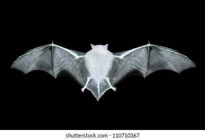 bat on the black background