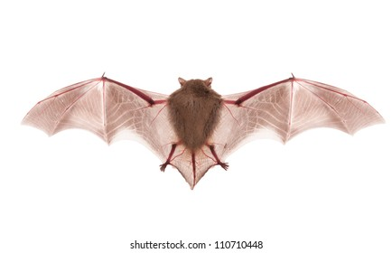 bat on the white background