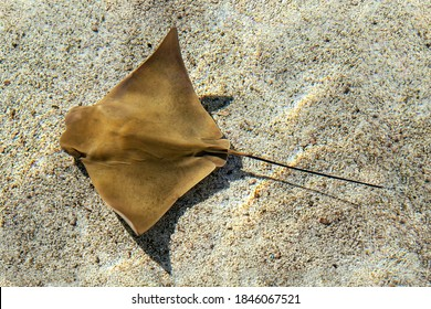 bat ray, eagle ray, or stingray (Myliobatis californica) swimming in a shallow sandy slough. - Shutterstock ID 1846067521