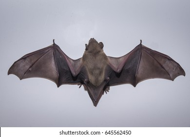 bat 's wing spread