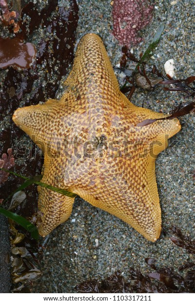 Bat star star fish California