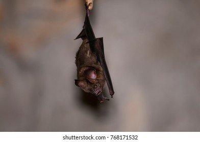 Bat in Thailand , Hipposideros.amiger ( Hodgson)