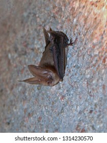 Bat Townsend's Big-eared Bat (Corynorhinus townsendii)