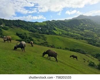 Batanes Cows Grazing