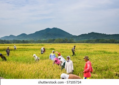 BATANGAS, PHILIPPINES - OCTOBER 9: Female and male Filipino workers harvest paddy on a hot sunny day.  October 9, 2006 in Batangas, Philippines
