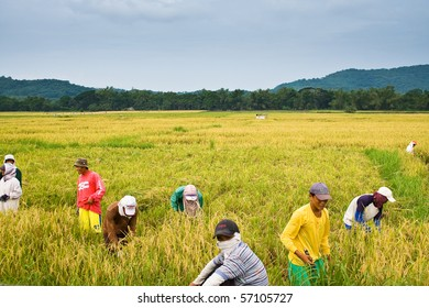 BATANGAS, PHILIPPINES - OCTOBER 9: Filipino workers harvest paddy on a hot sunny day.  October 9, 2006 in Batangas, Philippines