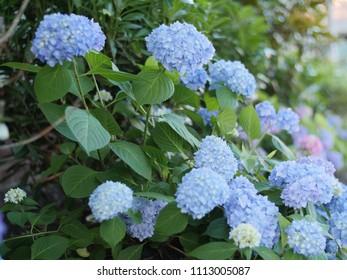 A batch of blue hydrangea flowers