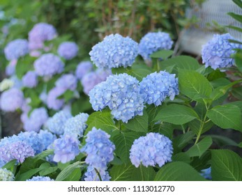 A batch of pink and blue hydrangea flowers