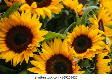 A batch of sunflowers in a market at Fisherman's Wharf in Seattle