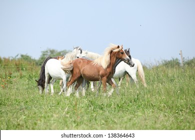 Batch of welsh ponnies on green pasture