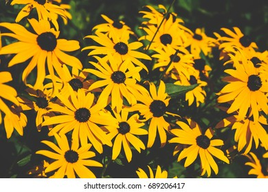 A batch of yellow flowers looking at the sun in Seattle Washington