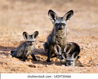 Bat-eared fox family portrait in the kgalagadi Transfrontier park. Otocyon megalotis