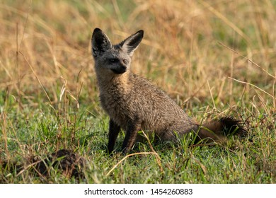 Bat-eared fox with head turned in grass