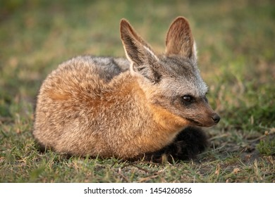Bat-eared fox lies on grass facing right