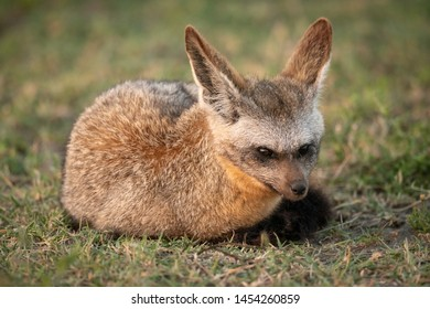 Bat-eared fox lies on grass watching camera