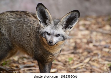 Bat-eared fox is a long eared fox that lives in the African savanna.