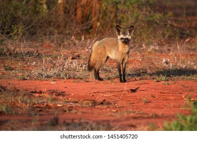 Bat-eared fox, Otocyon megalotis,  gazing at photographer.  Fox with big ears on red ground next to den. Wild animals photography, african safari at Tsavo West national park, Kenya.
