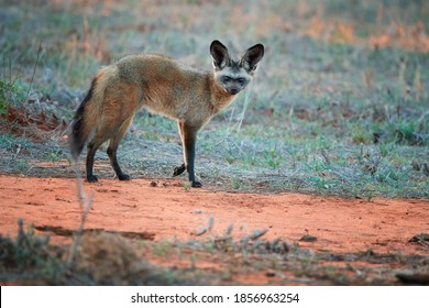 Bat-eared fox, Otocyon megalotis,  gazing at camera.  Fox with big ears on red ground next to the den. Wild animals photography, african safari, Tsavo West national park, Kenya.
