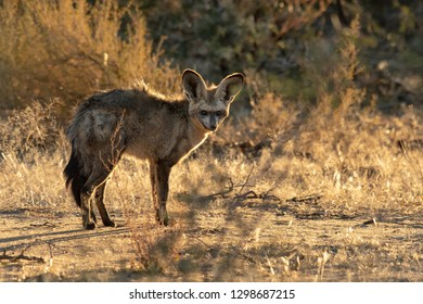 Bat-eared Fox (Otocyon megalotis) - Manged
