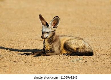 A bat-eared fox (Otocyon megalotis) in natural habitat, Kalahari desert, South Africa