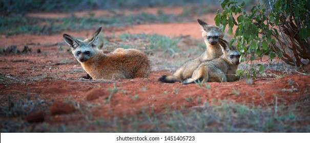 Bat-eared fox, Otocyon megalotis, puppies lying on red ground next to den. Fox with big ears. Panoramic, low angle photo. Wild animals photography, african safari at Tsavo West national park, Kenya.