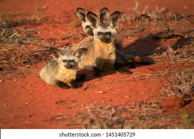 Bat-eared fox, Otocyon megalotis, puppies lying on red ground next to den. Fox with big ears. Wild animals photography, african safari at Tsavo West national park, Kenya.