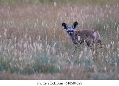 Bat-eared fox, Otocyon megalotis, small african predator in its typical environment, arid savanna in dusk, staring directly at camera. Kgalagadi transfrontier park, Kalahari desert, South Africa.