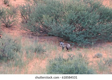 Bat-eared fox, Otocyon megalotis, small african predator in red desert african landscape, staring directly at camera. Kgalagadi transfrontier park, Kalahari desert, South Africa.