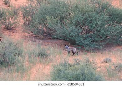 Bat-eared fox, Otocyon megalotis, small african predator in red desert african landscape, staring directly at camera. Kgalagadi transfrontier park, Kalahari desert, South Africa.