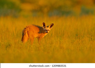 Bat-eared fox, Otocyon megalotis, wild dog from Africa. Rare wild animal, evening light in the grass. Wildlife scene, Okavango delta, Botswana. Fox with big long ears. Animal behaviour in Africa.