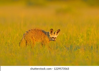 Bat-eared fox, Otocyon megalotis, wild dog from Africa. Rare wild animal, evening light in the grass. Wildlife scene, Okavango delta, Botswana. Fox with big long ears. Animal behaviour in Africa.