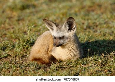 A bat-eared fox resting on Africa's Serengeti Plains.