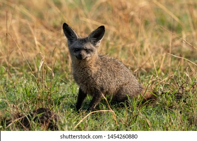 Bat-eared fox sits facing camera in grass