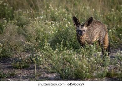 Bat-eared fox standing in the grass in the Central Kalahari, Botswana.