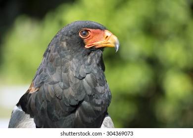 The Bateleur - Aguila Volatinera (Terathopius ecaudatus)