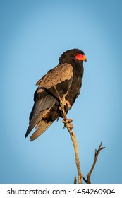 Bateleur eagle on dead branch against sky