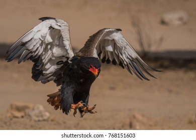 Bateleur Eagle on the wing in the Kgalagadi Transfrontier Park, South Africa