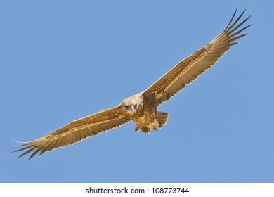 Bateleur Eagle shot in the Kalahari