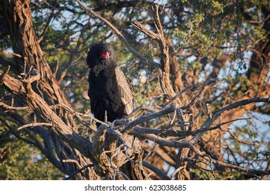 Bateleur eagle, Terathopius ecaudatus, picturesque raptor on branch in its natural environment of Kgalagadi transfrontier park, Botswana, illuminated by rising sun. Wildlife photography.