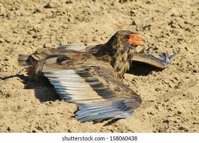 Bateleur Eagle - Wild Bird Background from Africa - Wonderful wings of power and pride from the Animal Kingdom.  Beauty of the free and iconic