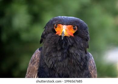 Bateleur (Terathopius ecaudatus) bird close up