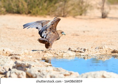 Bateleur, Terathopius ecaudatus, juvenile eagle with outstretched wings on sandy ground,  against sunny, dry desert in background. African wildlife experience, camping in Kgalagadi park, Botswana.