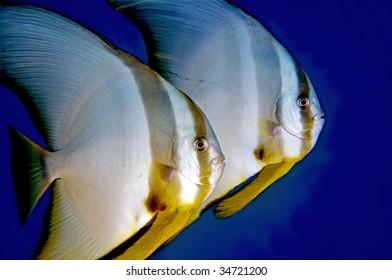 Batfish. Great Barrier Reef, Australia.