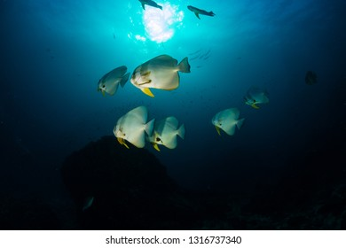 Batfish swimming over a clear water tropical coral reef in Thailand