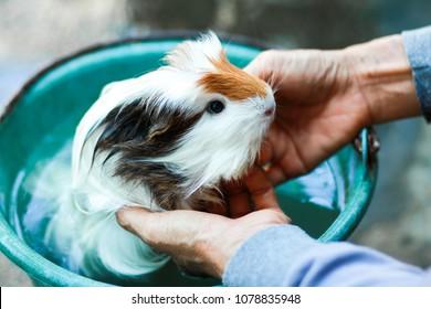 Bathe guinea pig