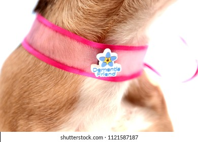 Bath,England.05.28.2016.Close up photo of dog wears a Dementia Friends pin,as a concept of benefit of pet therapy for dementia,as a logo of Alzheimer's Society's Dementia Friends programme.