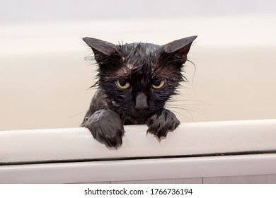 bathing discontented wet black cat with yellow eyes on a white background