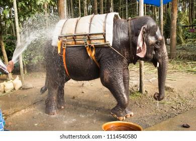 Bathing elephant before safari,Thekkady Periyar National Park wildlife sanctuary  on a hot summer day, Kerala India